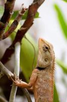 Lézard thaï brun sur l'arbre