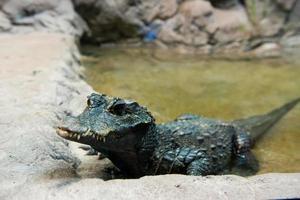 crocodile nain ouest-africain