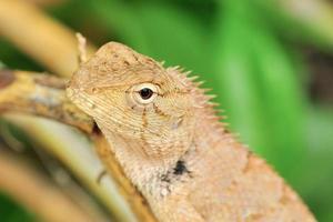 oeil de dragon photo