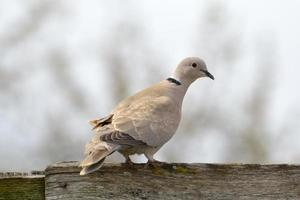 Colombe à collier (Streptopelia decaocto) photo