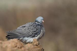 pigeon ramier à plumes ébouriffées photo