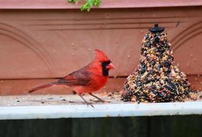 cardinal se nourrissant sous la pluie photo