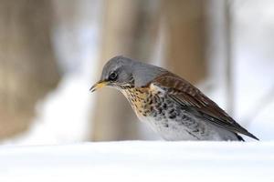 Fieldfare dans la forêt d'hiver photo