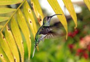 Colibri à sabre violet photo