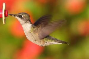 Colibri à gorge rubis à une mangeoire photo