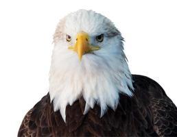 pygargue à tête blanche américain isolé sur fond blanc. photo