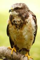 faucon de swainson photo