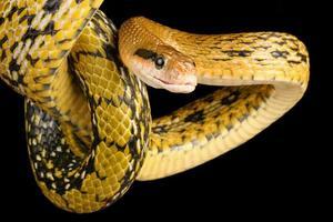 serpent de beauté de Taiwan. photo