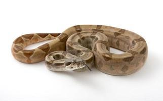 Boa constrictor photo