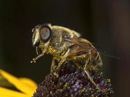 mouche des fleurs, schwebfliege (famille des syrphidés) photo