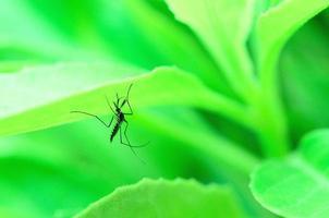les moustiques photo