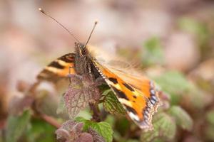 petit papillon écaille photo