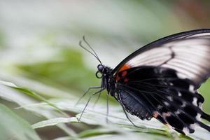 papillon machaon asiatique photo