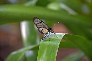 papillon aile de verre sur feuille photo