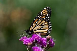 papillon monarque sur ironweed photo