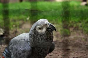 perroquet africain photo