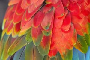 plumes d'ara