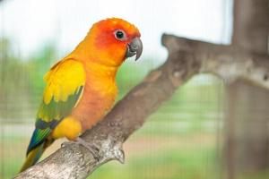 perroquet conure soleil photo
