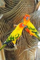 beau perroquet conure soleil coloré dans la nature photo