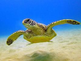 tortue de mer verte hawaïenne photo