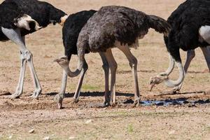 groupe d'autruches à un point d'eau dans le désert sec