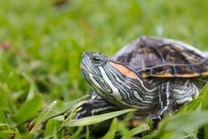 tortue à oreilles rouges sur l'herbe