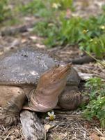 tortue à carapace molle et fleur photo