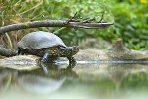 tortue de bassin européenne photo