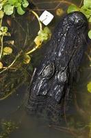 tête d'alligator en écu, de haut en bas avec guimauve