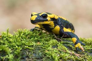salamandre tachetée photo