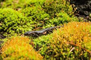 salamandre en mousse photo