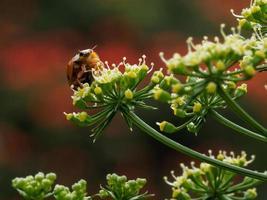 Coccinelle jaune reposant sur quelques petites fleurs