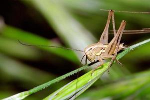 jeune cricket de brousse