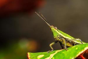 sauterelle verte sur feuille d'herbe photo