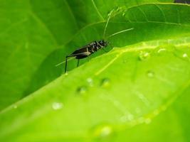 grillon cloche mâle sur les feuilles vertes