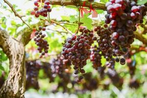 Ferme de raisin tak, thaïlande