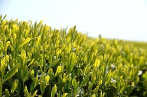 jardin de thé vert