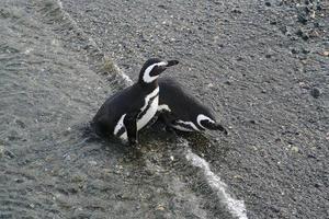 deux pingouins photo