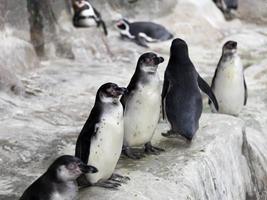pingouins sur la glace de neige photo