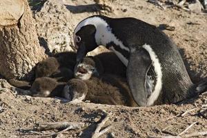 pingouins photo