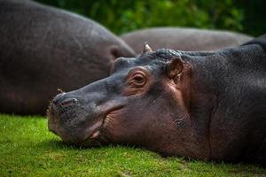 hippopotame couché photo