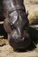 hippopotame pygmée (choeropsis liberiensis). photo