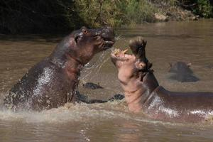 combats d'hippopotames photo
