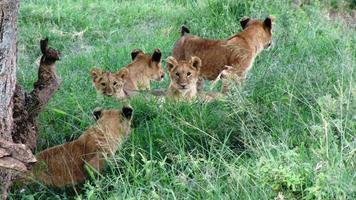 Animaux à l'état sauvage, réserve nationale de Masai Mara, Kenya photo