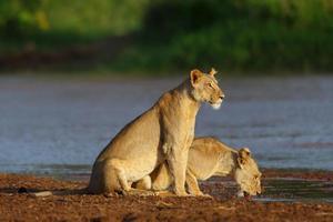 Lionnes buvant dans la réserve nationale de Samburu, Kenya photo