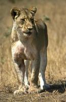 Lion photo