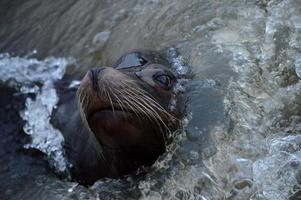 Lion de mer. photo