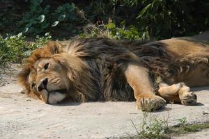 lion asiatique photo