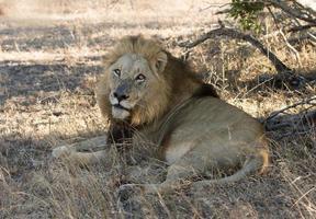 lion mâle photo