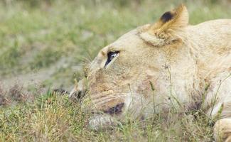 lion rêveur photo